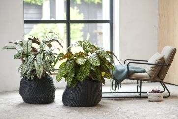 Houseplant of the month: Calathea