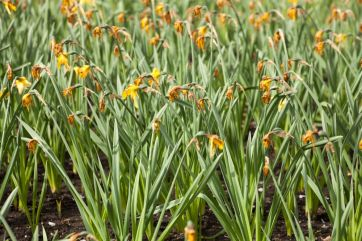 What to do after spring bulbs have flowered